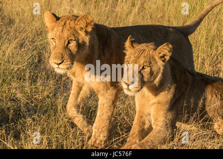 Lion brothers - Stock Photo