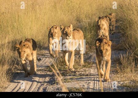 Lion pride walking - Stock Photo