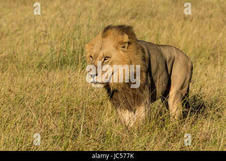 Male lion in the grass - Stock Photo