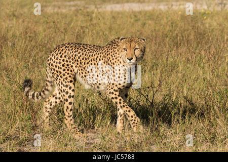 Walking cheetah - Stock Photo