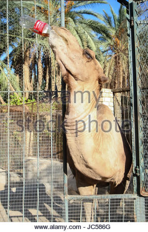 TOZEUR, TUNISIA - SEPTEMBER 16: A camel in a zoo drinking coca cola on September 16th, 2012  in Tozeur, Tunisia. - Stock Photo