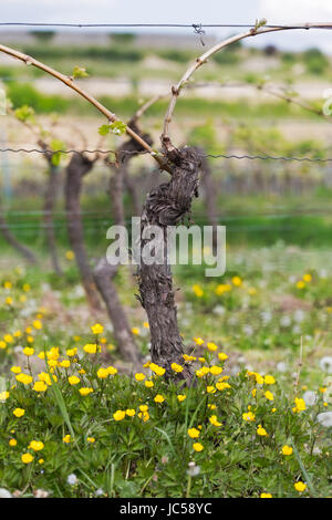 Vine with flower at summertime, Pfalz, Germany - Stock Photo