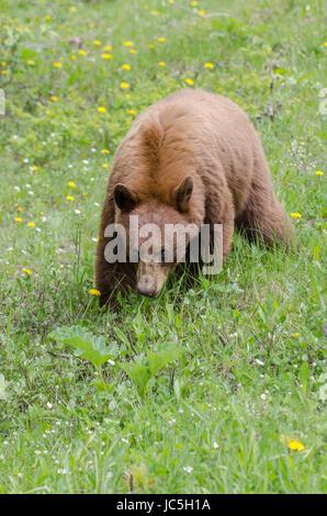 Beautiful cinnamon coloured brown-phase black bear eating dandelions - Stock Photo