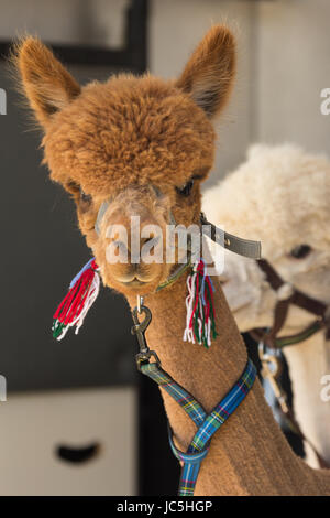 Head shot of captive brown/ginger coloured Alpaca (Vicugna pacos) & white one in background on display at Ham Fair. - Stock Photo