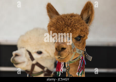 Head shot of two (2) captive Alpacas (Vicugna pacos), one brown/ginger and one white coloured on display at Ham - Stock Photo