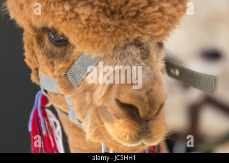 Close-up head shot of captive brown/ginger coloured Alpaca (Vicugna pacos) on display at Ham Fair. Ham Common, Richmond - Stock Photo