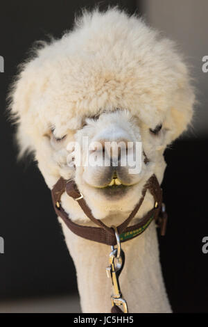 Head shot of white coloured captive Alpaca (Vicugna pacos) on display at Ham Fair. Ham Common, Richmond-upon-Thames, - Stock Photo