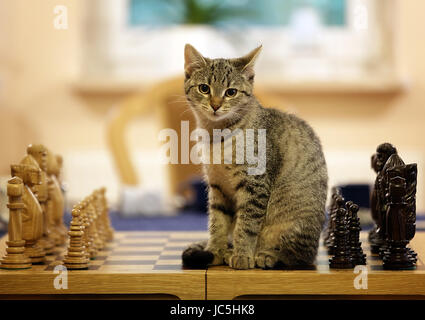 Little cat sitting on chess board. Looking a camera. - Stock Photo