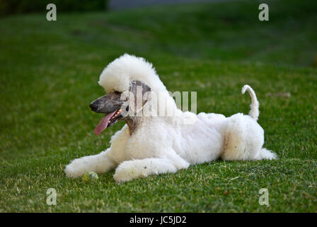 Giant white poodle with a tennis ball - Stock Photo