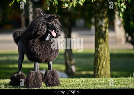 Giant black poodle - Stock Photo