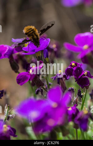 A Large Bee-fly (Bombylius major) on an aubrieta flower - Stock Photo