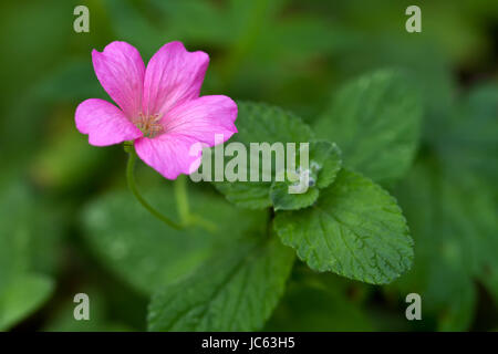 Endres cranesbill with leaves (lat. Geranium endressii) - Stock Photo