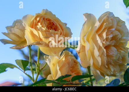 Blooming yellow rose in the garden on a sunny day. David Austin Rose Golden Celebration - Stock Photo