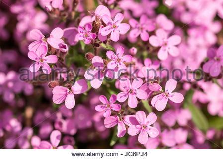 Nice pink Saponaria ocymoides under a warm spring sun - Stock Photo