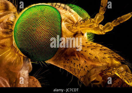 Extreme macro - portrait of a green eyed crane fly, magnified through a microscope objective (width of the frame - Stock Photo