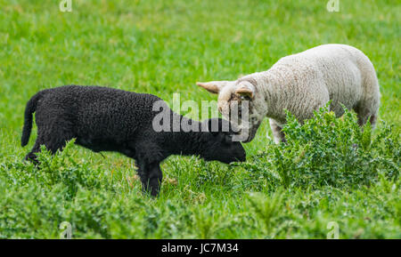Pair of lambs. A black and a white lamb close together in a field in the UK. Friends forever concept. Compassion - Stock Photo
