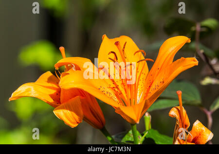 Orange Asiatic Lily growing in early Summer in West Sussex, England, UK. - Stock Photo