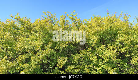 Long fragment of a rural green hedge from a bush with yellow leaves against the background of the blue sky - Stock Photo