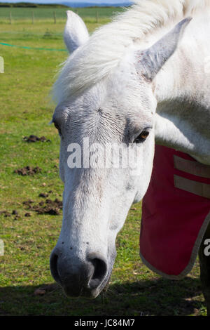 A close up of a beautiful young grey horses head and mane as it  stands in a field on a bright sunny day - Stock Photo