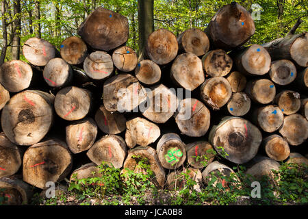 Germany, Ruhr area, felled and stacked beech trees near Wetter. - Stock Photo