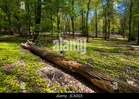 Germany, Ruhr Area, spring in a forest at the Ruhrhoehenweg in the Ardey mountains near Wetter. - Stock Photo