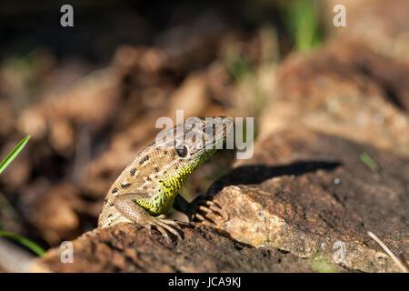 Agile Eidechse in ihrem natürlichen Lebensraum auf dem Boden zwischen welken Blättern an einem warmen sonnigen Tag
