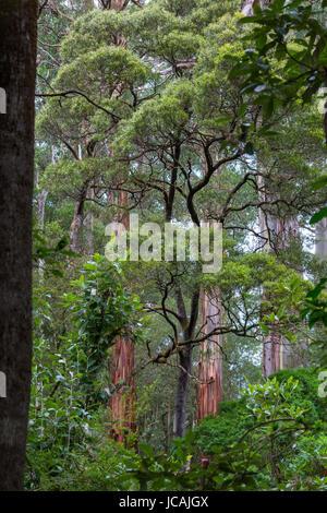 Dicksonia antarctica Rain forest at Melba Gully State Park, Great Otway National Park, Vitoria, Australia. - Stock Photo