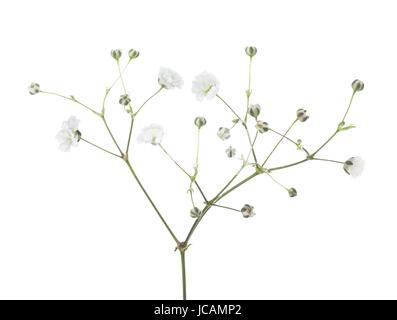 Gypsophila isolated on white background. - Stock Photo