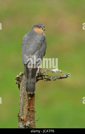 Male Sparrowhawk on Perch in Galloway Wood - Stock Photo