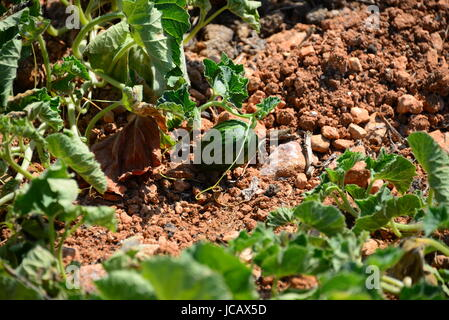 melons on the field - spain - Stock Photo