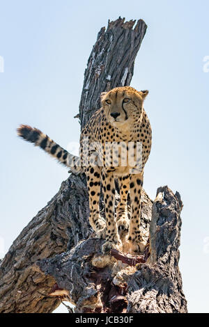 Cheetah standing in tree - Stock Photo