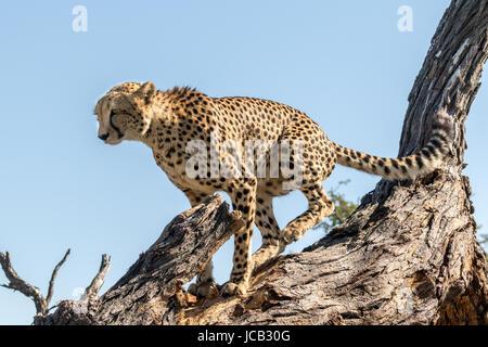Cheetah marking his territory - Stock Photo