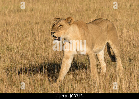 Young lion walking in tall grass