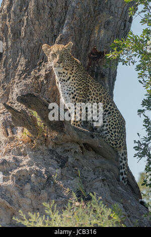 Leopard sitting in tree - Stock Photo