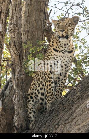 Alert leopard in tree - Stock Photo