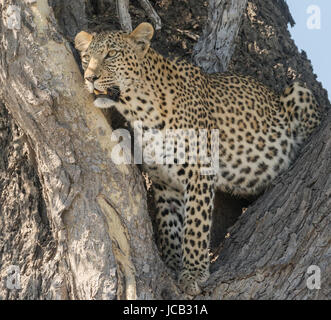 Closeup of leopard in tree - Stock Photo