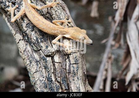 Uroplatus lineatus gecko Andasibe-Mantadia National Park, Madagascar - Stock Photo