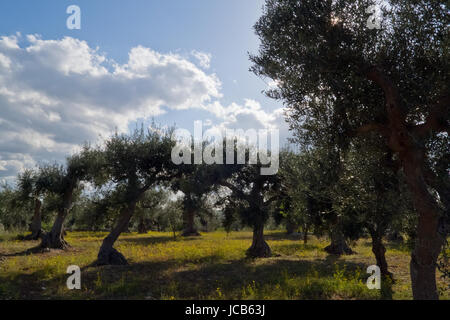 Olive grove in backlight sunset. - Stock Photo