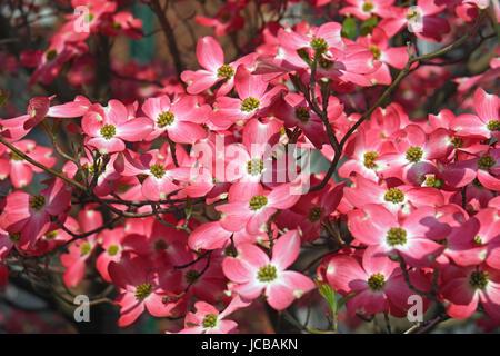 Flowering Dogwood (Cornus florida). Called American Dogwood and Eastern Dogwood also. State tree of North Carolina, - Stock Photo