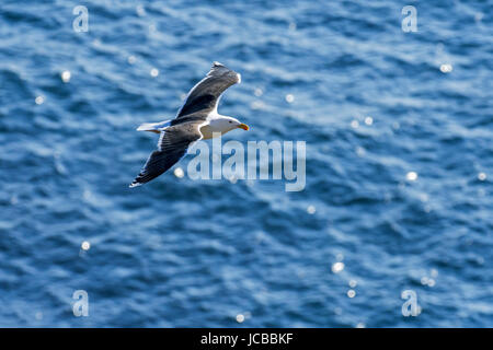 Lesser black-backed gull (Larus fuscus) in flight above sea water - Stock Photo
