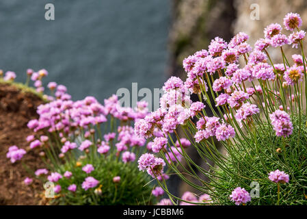Sea pink / sea thrift (Armeria maritima) in flower in spring on sea cliff top - Stock Photo