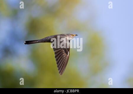 Common cuckoo (Cuculus canorus) male in flight - Stock Photo