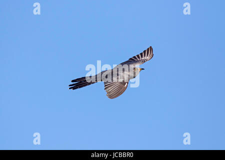 Common cuckoo (Cuculus canorus) male in flight against blue sky - Stock Photo