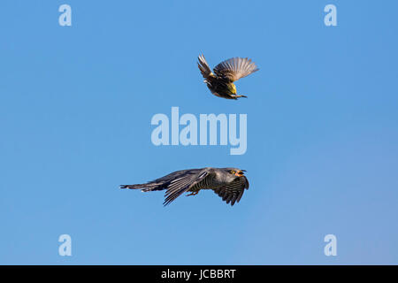 Common cuckoo (Cuculus canorus) mobbed by yellowhammer (Emberiza citrinella) in flight - Stock Photo