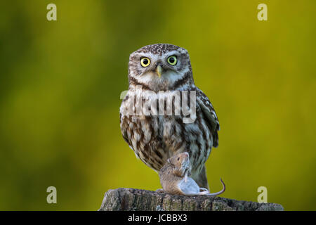 Little owl (Athene noctua) perched on weather-beaten wooden fence post with caught mouse prey - Stock Photo