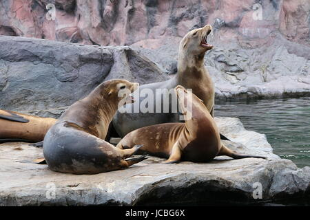 robben sea lions heuler - Stock Photo