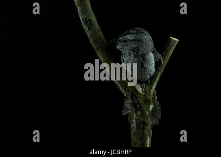 Tawny Frogmouth (podargus strigoides) sitting on a branch with a black background looking left - Stock Photo
