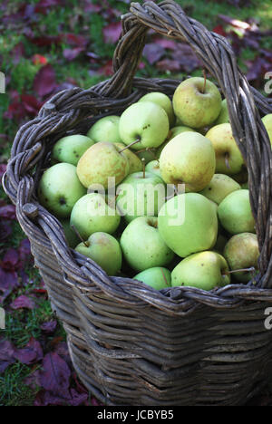 Basket of freshly harvested apples from the autumn orchard - Stock Photo