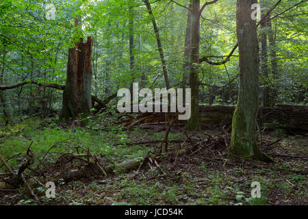 Primeval deciduous stand in natural forest in summertime morning with broken spruce tree in foreground - Stock Photo