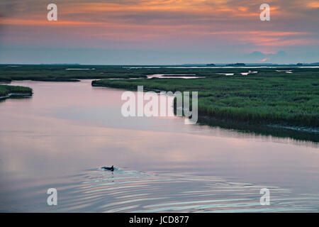 A juvenile Atlantic bottlenose dolphin surfaces in the saltwater tidal marsh of Grey Bay on the edge of the Cape - Stock Photo